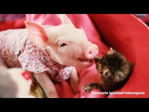 Drop What You're Doing: We've Got Video Of A Piglet In A Sundress Cuddling With A Kitten