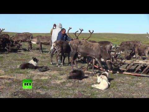 МЧС ликвидирует последствия падежа оленей на Ямале