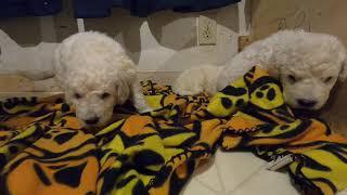 Komondor Puppies Litter B Day 24