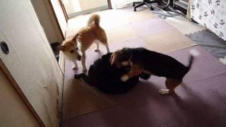 http:/osanpoikuyo.blog112.fc2.com/ ワン7匹犬まみれ里親探し日記.