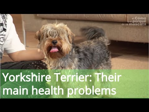 Yorkshire Terrier: Their main health problems