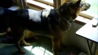 German Shepherd Natural Guard Dog Protecting Home