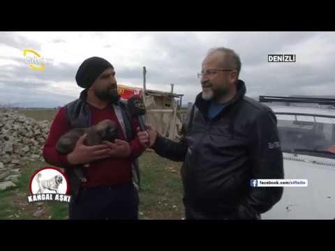 Denizli/Acıpayam'da Kangal Yetiştiricileri İle Birlikteyiz - Kangal Aşkı / Çiftçi TV