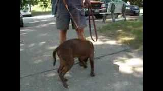 Male Chocolate Lab Mix Puppy At Mahoning County Dog Pound In Youngstown Ohio - August 19 2013