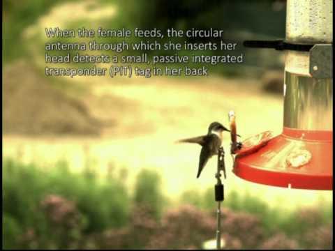 .加州大學戴維斯分校利用 RFID 跟蹤蜂鳥活動