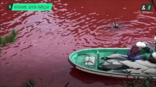 В японской бухте Тайцзи жестоко истребляют дельфинов