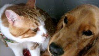 「お願いします……」「ダメにゃ!」猫親分に勝てないワンコ