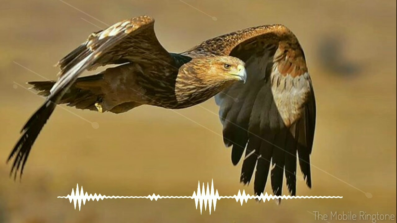 eagle sound eagle sound effect by the mobile ringtone youtube. Black Bedroom Furniture Sets. Home Design Ideas
