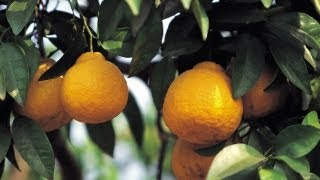 How to Grow Lemon Trees   At Home With P. Allen Smith