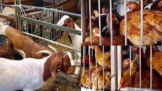 আমেরিকার হাঁস-মুরগির বাজার | Jamaica Archer Halal Live Poultry & Meat Market