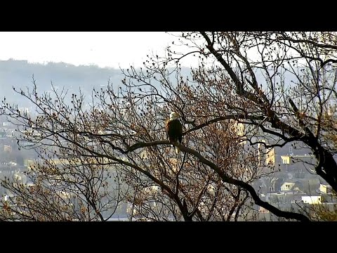 AEF-DC Eagle Cam ~ Perching, Eating & Stick Wrestlin' ~ 01·11·17