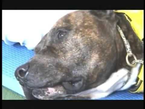 TAA Terapia Assistida por Animais Pit Bull Taz