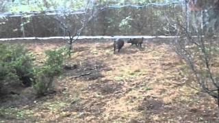 2013・11・10 那須の猪犬訓練所にて訓練を受ける天狼乃赤熊王.
