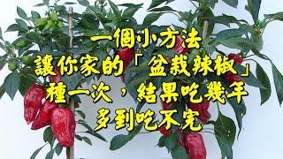 【一個小方法,讓你家陽台的「盆栽辣椒」種一次,結果吃幾年!】多到吃不完!