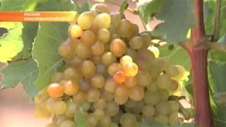 Почти половину всего винограда в России собирают в Краснодарском крае. Новости Эфкате Сочи