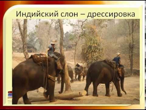 Вопрос: Сколько весит ухо среднего африканского слона?
