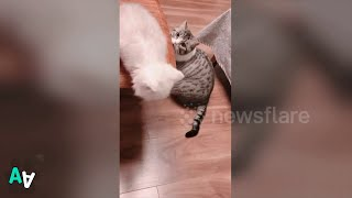 Cat Helps Other Cat Jump from Desk to Sofa