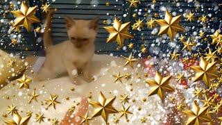 Котята породы Бурма//Питомник бурм Arctic Silk