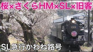 【大井川鐵道】SL急行かわね路号さくらヘッドマーク・家山桜トンネル