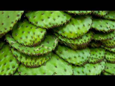 11 Impressive Benefits Of Nopales Nopal Cactus Health Benefits