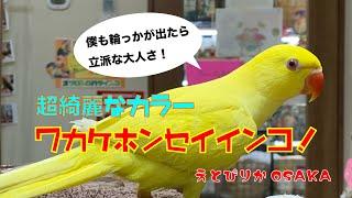 【えとぴりかOSAKA】とっても綺麗なルチノーのインコ!【ワカケホンセイインコ・Ring-necked parakeet】