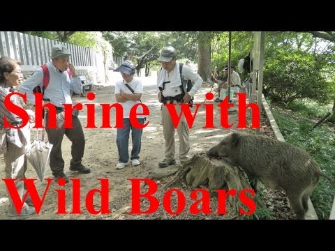 Shrine Where Wild Boars Worship (野生イノシシも来る神社) 【JAPAN TRAVEL GUIDE】