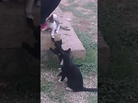 Kittens playing - cute kitty