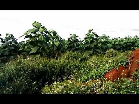 Cây hông trồng làm trụ tiêu. 4,5 tháng
