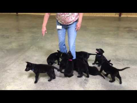 """A"" Litter 2016 Prufenpuden German Shepherds Black Personal Protection Candidates"