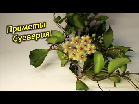 Хойя – приметы и суеверия!  Можно ли держать цветок дома? Куда лучше поставить?