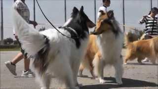 日本コリークラブ群馬支部のマッチショー 2013年6月9日 JA前橋ちびっ...