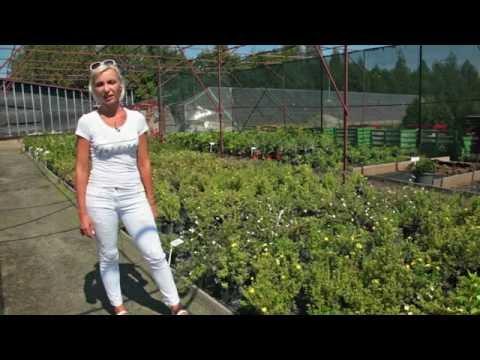 Живые изгороди: Лапчатка кустарниковая (Potentilla Fruticosa)