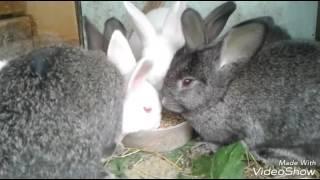 Кормление кроликов в летний период. Откорм кроликов. Трава опасная и безопасная.
