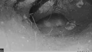 Hottentot Golden Mole Underground
