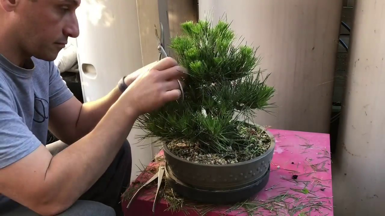 How to bud select and needle pluck Japanese black pine ...