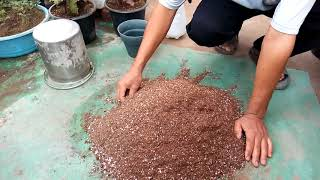 زراعة بذور نبات الكوليس ( السجادة )  ....   Cultivation of seeds coleis plant