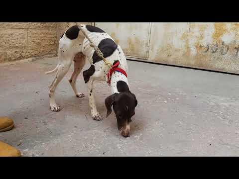 كلب البونتر كلب صيد مع جمال العمواسي