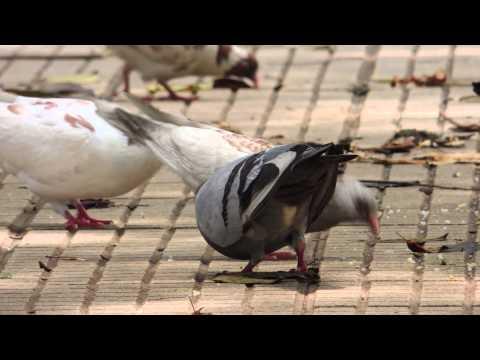 #270,Palomas picando alimento del piso estabilizada [Raw], Animales en ciudad