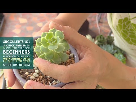 Succulents 101- A Care Primer for Beginners with Sucs for You!