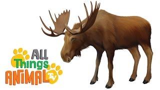 MOOSE: Animals for children. Kids videos. Kindergarten | Preschool learning