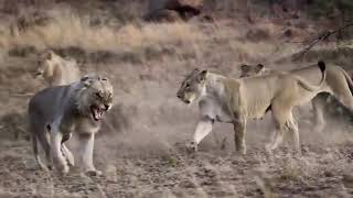 Too brave! powerful hero buffalo come to rescue poor zebra escape lions #2