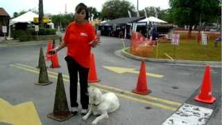Off Lead Dog Training Golden Retriever Cooper Dogtra E Collar Pager Bike Week Daytona