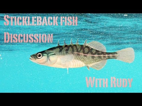 Stickleback Fish Discussion