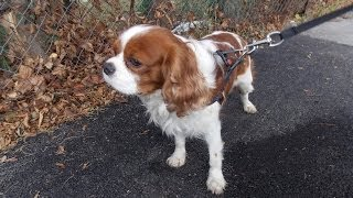 Cavalier King Charles Spaniel - The big Sunday afternoon walk - [Paca]