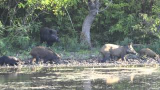 Feral Hogs in North Texas - A Growing Urban Issue