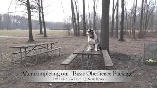 Nj Dog Training Austrailan Shepherd Before And After
