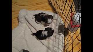 Shihtzu Puppies For Sale Nc