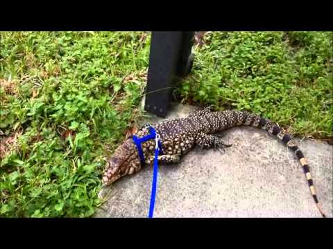 how to make a lizard leash out of string