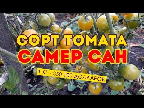 Сорт томата Самер Сан! Обзор томата в открытом грунте