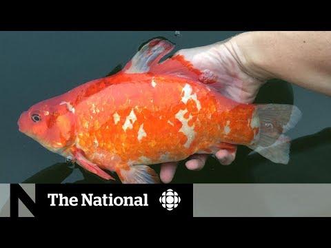 Giant, Disruptive Goldfish Taking Over Canada's Waterways